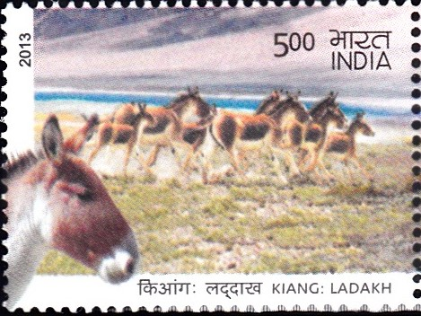 Tibetan wild ass (Equus kiang)