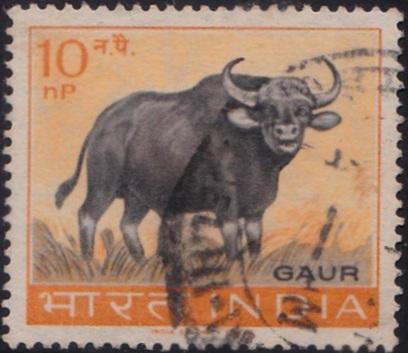 Indian Bison : Largest Extant Bovine