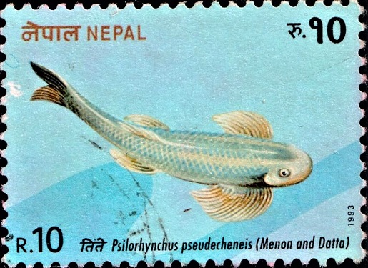 Nepalese Minnow (Stone Carp)