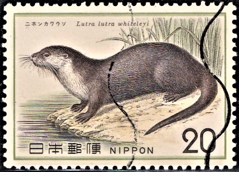 Japanese River Otter : Lutra lutra whiteleyi (Lutra nippon)