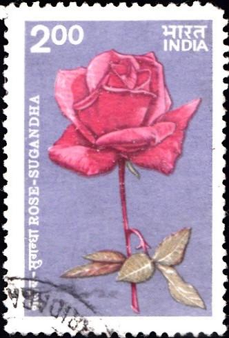 Sugandha (सुगंधा) Rose