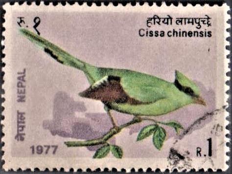Green Magpie : Nepalese bird