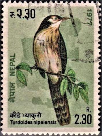 Nepalese Laughing Thrush (variegated laughingthrush)