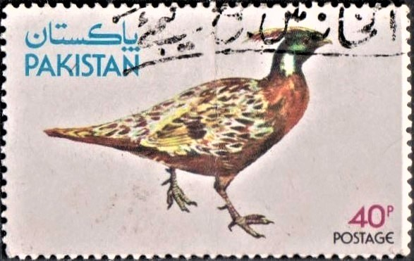 Indian (Kashmir) Koklass pheasant (Galliform)