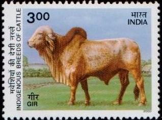 Cow : Gyr