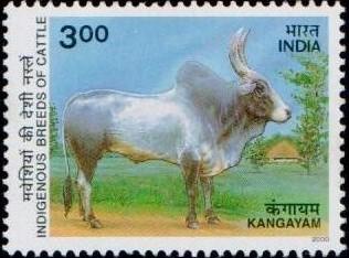 Cow : Kangayam (Kanganadu)